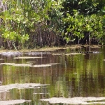 Krokodile neben an in den Mangroven